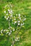 Νέο μικρό κεράσια δέντρων ή πουλί κερασιών lat Avium Λ Cerasus Λουλούδια Moench την πρώιμη άνοιξη Στοκ Εικόνες