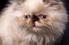 Νέο μπλε περσικό γατάκι Himalayan σημείου Στοκ φωτογραφίες με δικαίωμα ελεύθερης χρήσης