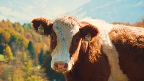Νέο να κοιτάξει αγελάδων απόθεμα βίντεο