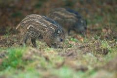 Νέο να προμηθεύσει με ζωοτροφές άγριων κάπρων Στοκ Φωτογραφίες