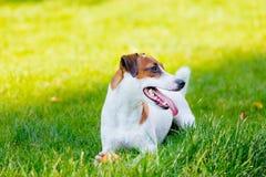 Νέο ομαλός-ντυμένο σκυλί τεριέ του Jack Russell στοκ φωτογραφία με δικαίωμα ελεύθερης χρήσης