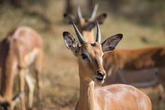 Νέο, περίεργο impala μεταξύ της ομάδας άλλοι στοκ εικόνες