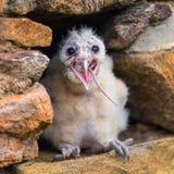Νέο πουλί κουκουβαγιών σιταποθηκών στοκ εικόνα