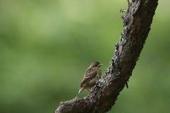 Νέο πουλί flycatchers στον κλάδο του δέντρου Στοκ Φωτογραφία
