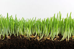 Νέο πράσινο κριθάρι με τους σπόρους και τις ρίζες Στοκ φωτογραφίες με δικαίωμα ελεύθερης χρήσης