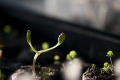 Νέο πράσινο σπορόφυτο Lupine Στοκ εικόνες με δικαίωμα ελεύθερης χρήσης