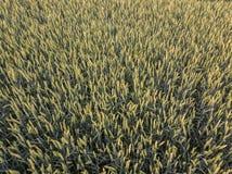 Νέο πράσινο cornfield το καλοκαίρι - άποψη ματιών πουλιών ` s Στοκ Φωτογραφίες