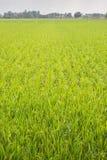 νέο ρύζι Στοκ εικόνα με δικαίωμα ελεύθερης χρήσης