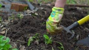 Νέο σκάβοντας φυτόχωμα γυναικών από το pitchfork Εδαφολογική προετοιμασία για τη φύτευση Με τα ξηρά φύλλα κλείστε επάνω Σε αργή κ απόθεμα βίντεο