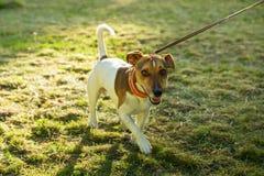 Νέο σκυλί κυνηγιού που περπατά στη χλόη στο πάρκο στο λουρί, μπροστινή άποψη Στοκ εικόνα με δικαίωμα ελεύθερης χρήσης