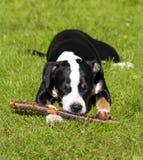 Νέο σκυλί στοκ φωτογραφία