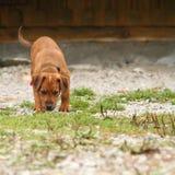 Νέο σκυλί κυνηγιού στην κατάρτιση Στοκ Φωτογραφία