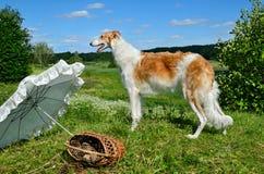 Νέο σκυλί κυνηγιού Στοκ εικόνα με δικαίωμα ελεύθερης χρήσης