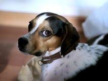 Νέο σκυλί που εξετάζει με Στοκ φωτογραφία με δικαίωμα ελεύθερης χρήσης