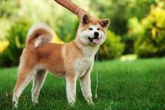 Νέο σκυλί inu akita που στέκεται υπαίθρια στην πράσινη χλόη Στοκ φωτογραφία με δικαίωμα ελεύθερης χρήσης