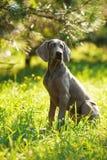 Νέο σκυλί weimaraner υπαίθρια στην πράσινη χλόη Στοκ Φωτογραφία