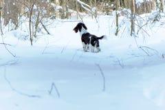 Νέο σπανιέλ αλτών στο χειμερινό δάσος Στοκ Φωτογραφίες