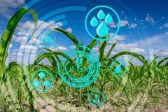 νέο σπορόφυτο αραβόσιτου στον καλλιεργημένο γεωργικό αγροτικό τομέα με τις σύγχρονες έννοιες τεχνολογίας στοκ εικόνα