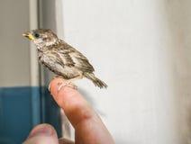 Νέο σπουργίτι πουλιών στα αρσενικά χέρια Στοκ Εικόνες