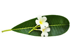 νέο τέλειο plumeria φύλλων frangipani λουλουδιών Στοκ εικόνες με δικαίωμα ελεύθερης χρήσης
