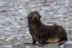 Νέο, υγρό, κουτάβι σφραγίδων γουνών, φρέσκο από τον ωκεανό, σε μια παραλία βράχου και άμμου, πεδιάδα του Σαλίσμπερυ, νότια Γεωργί στοκ φωτογραφία