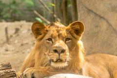 Νέο δυνατό όμορφο λιοντάρι Στοκ εικόνες με δικαίωμα ελεύθερης χρήσης