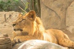 Νέο δυνατό όμορφο λιοντάρι Στοκ Εικόνες