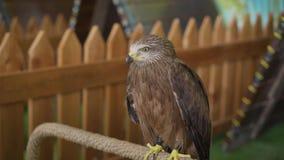 Νέο υπερήφανο γεράκι Γεράκι στο ζωολογικό κήπο απόθεμα βίντεο