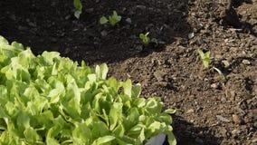 Νέο φρέσκο μαρούλι έτοιμο να το φυτεψει απόθεμα βίντεο