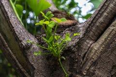 Νέο φύλλο biloba δέντρο-Ginkgo οφθαλμών παλαιό στοκ εικόνες με δικαίωμα ελεύθερης χρήσης