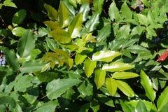 Νέο φύλλωμα του aquifolium Mahonia το καλοκαίρι Στοκ Φωτογραφίες