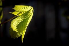 Νέο φύλλο κάστανων στοκ εικόνα