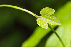 Νέο φύλλο του pothieri Aristolochia Στοκ Φωτογραφία