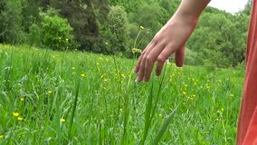 Νέο χέρι γυναικών που τρέχει μέσω του πράσινου άγριου τομέα λιβαδιών, σχετικά με την άγρια κινηματογράφηση σε πρώτο πλάνο λουλουδ απόθεμα βίντεο
