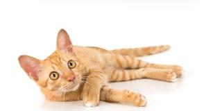 Γάτα πιπεροριζών Στοκ εικόνα με δικαίωμα ελεύθερης χρήσης