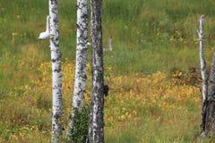 Νέο χηνάρι στο λιβάδι Στοκ Φωτογραφία
