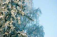 Νέο χιόνι στους κλάδους δέντρων έλατου, στις αρχές χειμερινού πρωινού, μπλε ουρανός Στοκ Φωτογραφίες
