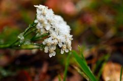 Νέο χιόνι στο άσπρο λουλούδι στα τέλη του φθινοπώρου Στοκ Εικόνες