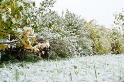 Νέο χιόνι redcurrant στο θάμνο Στοκ Εικόνες