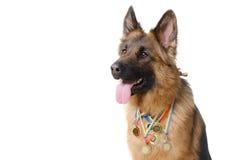 Νέο χνουδωτό γερμανικό σκυλί ποιμένων με τα κύρια χρυσά μετάλλια του που απομονώνονται στο λευκό Στοκ Εικόνα