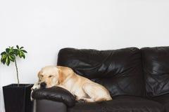 Νέο χρυσό retriever του Λαμπραντόρ που στηρίζεται σε έναν καναπέ στοκ εικόνες