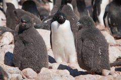 Νέο adelie penguins και η μητέρα τους στοκ εικόνες