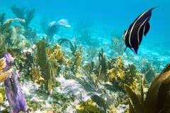 Νέο Angelfish Στοκ φωτογραφία με δικαίωμα ελεύθερης χρήσης