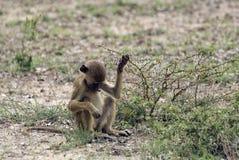 Νέο baboon, επιφύλαξη παιχνιδιού Selous, Τανζανία Στοκ Εικόνες