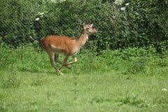 Νέο buck που τρέχει στο pasturage Στοκ Εικόνα