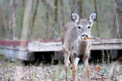 Νέο buck το φθινόπωρο στοκ εικόνες με δικαίωμα ελεύθερης χρήσης