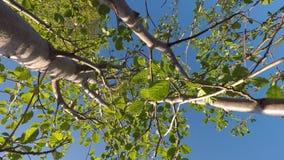 Νέο caprea Salix, δέντρο ιτιών απόθεμα βίντεο