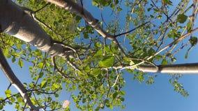 Νέο caprea Salix, δέντρο ιτιών φιλμ μικρού μήκους