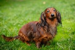 Νέο dachshund στη χλόη Στοκ φωτογραφία με δικαίωμα ελεύθερης χρήσης