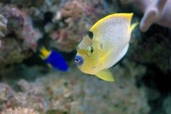 Νέο flameback angelfish (aurantonotus Centropyge) Στοκ Εικόνες